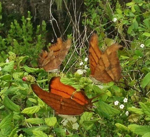 Arthur R. Marshall Loxahatchee National Wildlife Refuge: Julia butterflies
