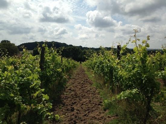 Sedlescombe Organic Vineyard: Sedlescombe, August 2014