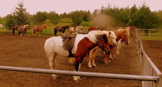 Ishestar Horse Riding Tours: The Horses (1)