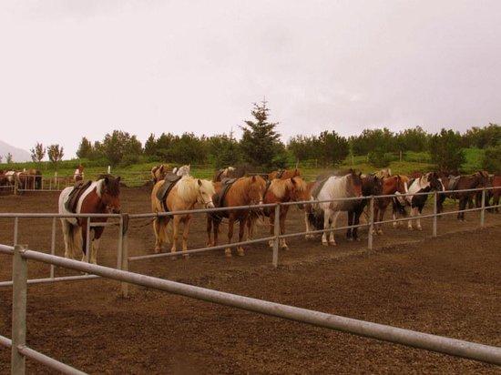Ishestar Horse Riding Tours: The Horses (2)