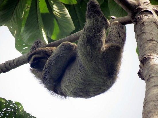 Playa Manuel Antonio : More sloths
