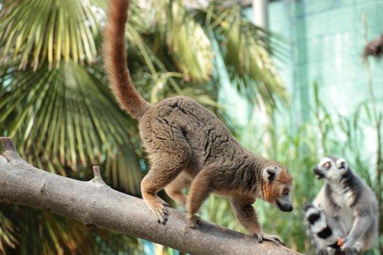 Bristol Zoo Gardens: Lemurs