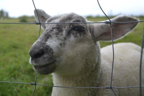 Penvith Barns: The lamb I fed :-)