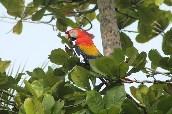 Iguana Lodge: macaw
