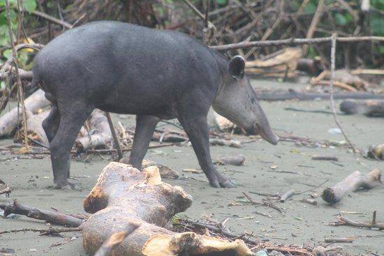 Iguana Lodge: tapir