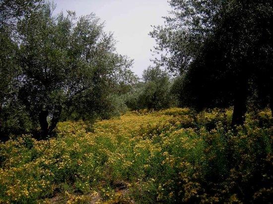 Isola Maggiore: ulivi e iperico in fiore