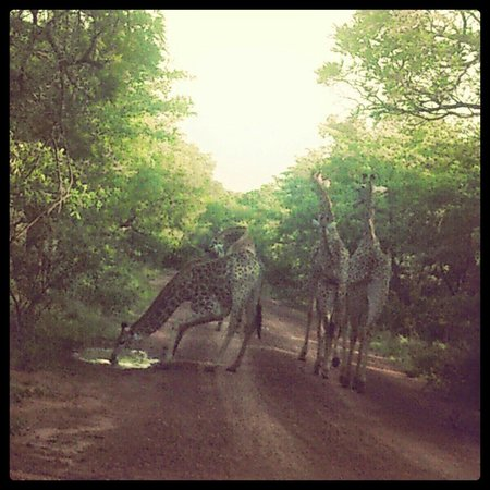 Marakele National Park: A small journey of giraffe just holding up the traffic ...