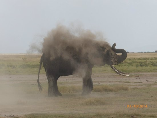 Amboseli Serena Safari Lodge : Elephant taking a bath