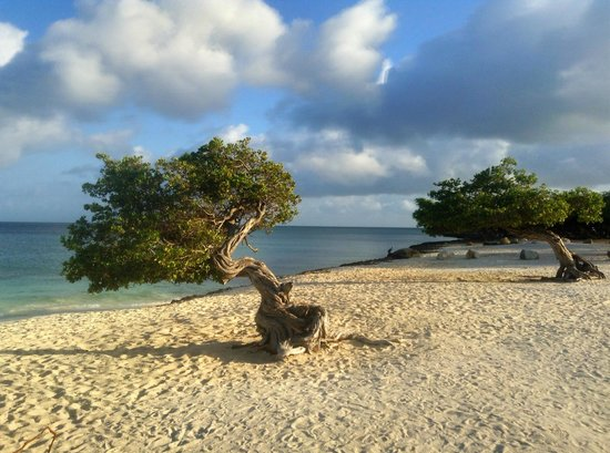 Amsterdam Manor Beach Resort: the divi tree