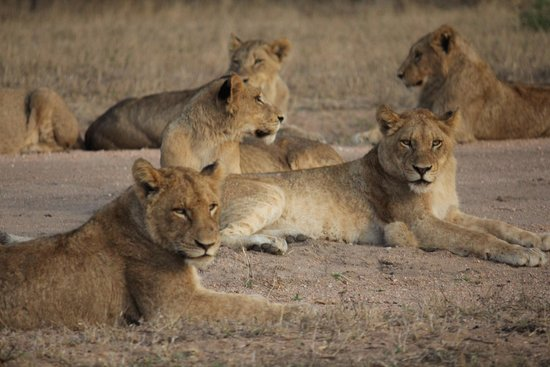 Chitwa Chitwa Private Game Reserve : Game drive where we saw 16 lions stretched out on airstrip