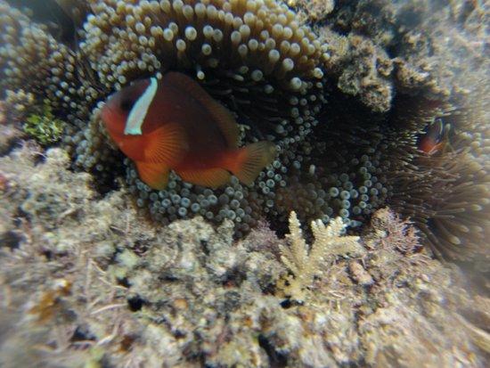 """Lomani Island Resort: Plenty of """"Nemo's"""""""