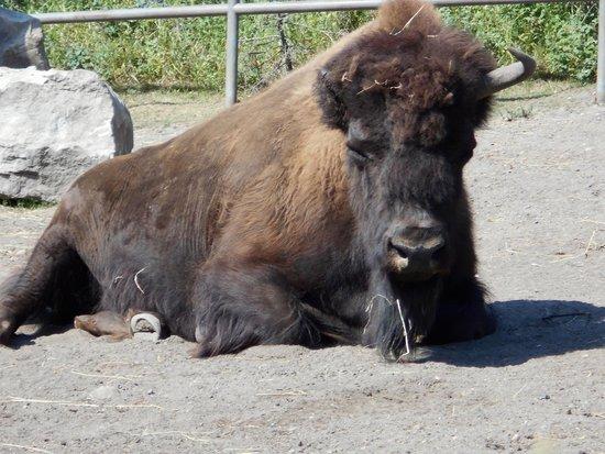 The Calgary Zoo: buffalo