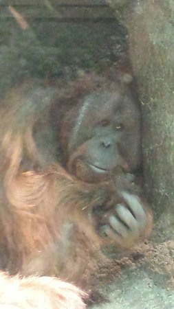 Cleveland Metroparks Zoo: Orangutan in the rain forest
