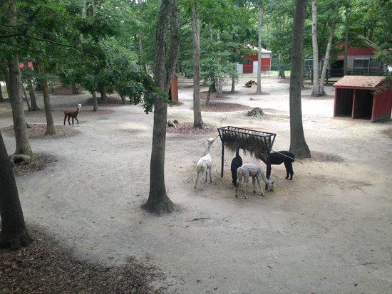 Cape May County Park & Zoo: Llamas