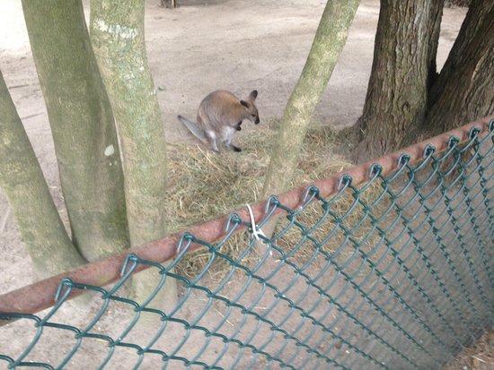 Cape May County Park & Zoo: Wallaby