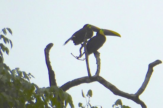Mawamba Lodge: Chestnut mandible toucans on early canal tour