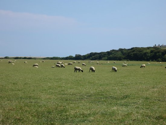Seven Sisters Country Park: Sheep inside the Seven Sisters park