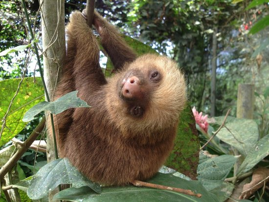 Arenal Eco Zoo: Baby Rescue Sloth