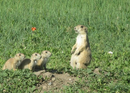 Roberts Prarie Dog Town Badlands National Park Sd Picture Of