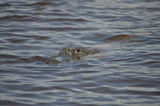Everglades National Park Boat Tours: Gator