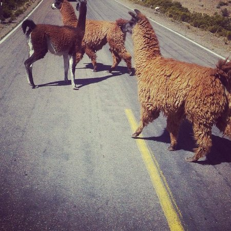 Colca Trek Lodge: Llamas...,!