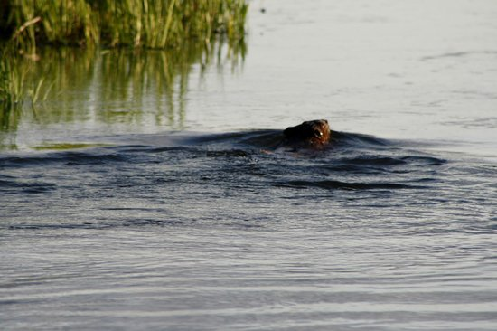 Maclaren River Lodge: Beaver!