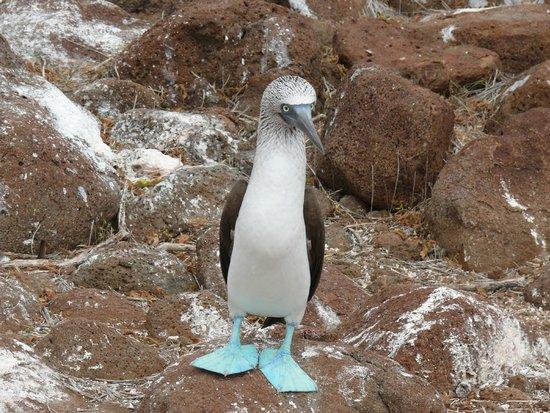 Hotel Silberstein: Pinzon de patas azules que habita en las Galápagos