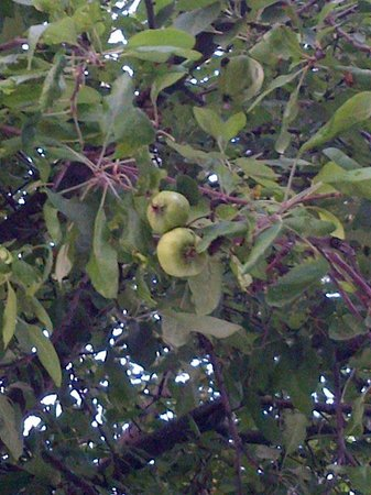 Hawthorn Suites by Wyndham Fort Wayne: Apple trees in surrounding of the hotel