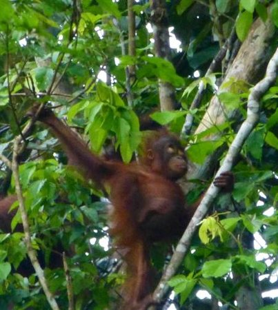Nature Lodge Kinabatangan: Baby Orangutan