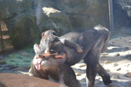 Taronga Zoo: Chimpanzees