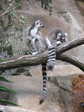 Musée de plein air de Skansen : Skansen - closeup to lemurs