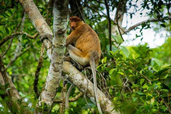 Proboscis Monkey River Cruise: Proboscis monkey
