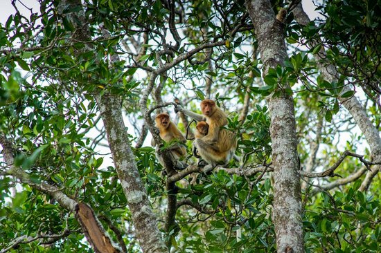 Proboscis Monkey River Cruise: Proboscis monkeys