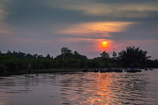 Proboscis Monkey River Cruise: Water buffaloes