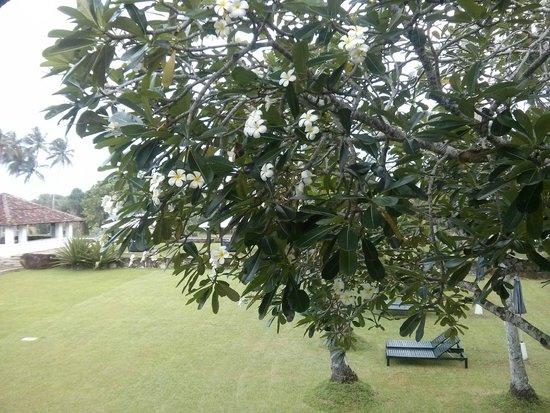Paradise Road The Villa Bentota: Tree outside Room V