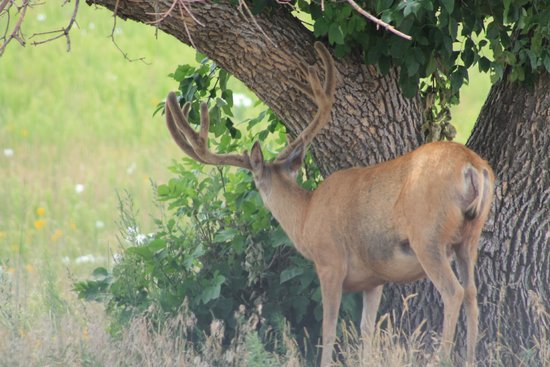 Rocky Mountain Arsenal National Wildlife Refuge: Deer