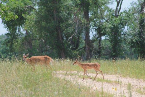 Rocky Mountain Arsenal National Wildlife Refuge: More deer