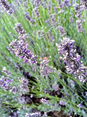 Villa Baroncino: Lavender drive!