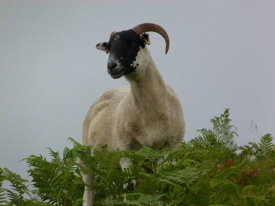 West Highland Way: des moutons, encore des moutons !