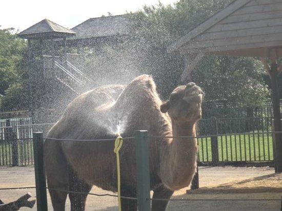 Paradise Wildlife Park: Camel