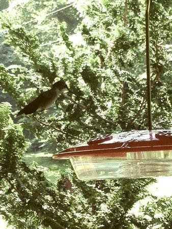 Butterfly Hollow - A Hidden Retreat: humming bird