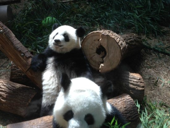 Zoo Atlanta: Pandas - mom and cub