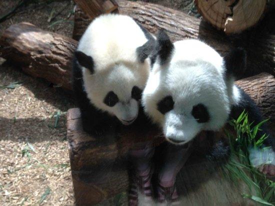 Zoo Atlanta: Pandas - mom and cub