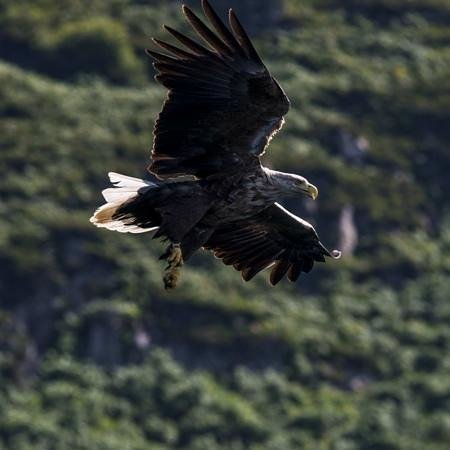 Mull Charters: eagle highlight