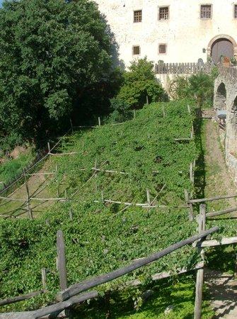 Castel Katzenzungen: La vite più grande e antica d'europa (un solo albero)
