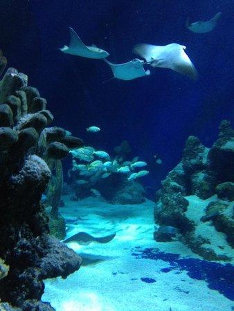 Sea Life London Aquarium: Manta rays