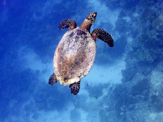 Club Med Kani: turtle