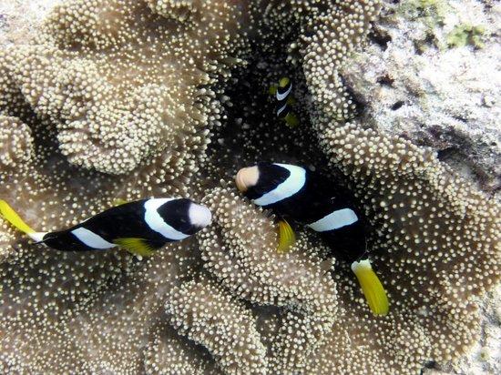Club Med Kani: anenome fish