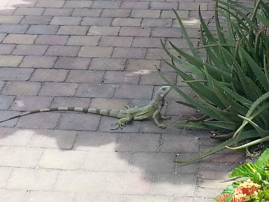 Camacuri Apartments Aruba: Iguana