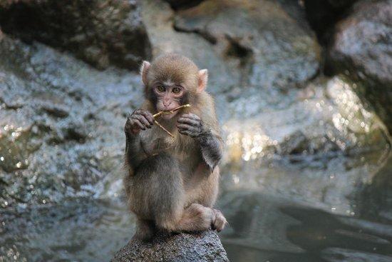 枝で遊ぶ子ザル - Foto di Takasakiyama Natural Zoo, Oita - TripAdvisor